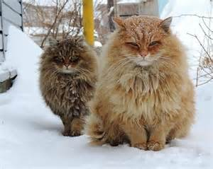 fluffy cats 15 of the fluffiest cats you ve seen part 1
