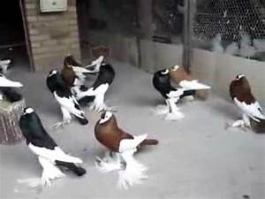 Pouter Pigeons - ( fancy pigeon) - YouTube