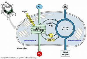 Photosynthesis Light Dependent And Independent Reactions