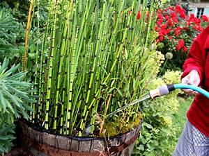 Plantes Vivaces Autour D Un Bassin : equisetum hyemale planter et cultiver ooreka ~ Melissatoandfro.com Idées de Décoration