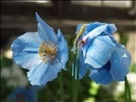 blaue pflanzen für den garten blaue mohnblume mehrj 228 hrige pflanzen