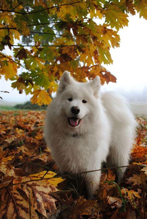 Mostlydogsmostly Leave A Smile By Zero Den Samoyed