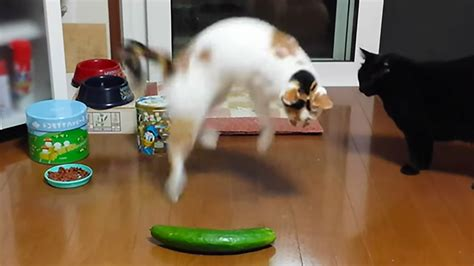 cucumber cats cucumbers cat afraid why vs don scaring