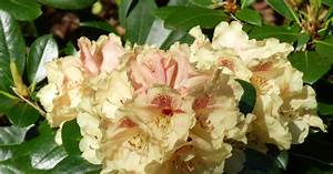 Rhododendron Blüht Nicht : rhododendron durch ableger vermehren mein sch ner garten ~ Frokenaadalensverden.com Haus und Dekorationen