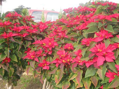 poncetta plant growing poinsettias