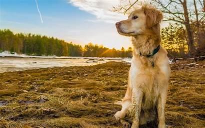 Retriever Golden Wallpapers Dog Retrievers Background Backgrounds