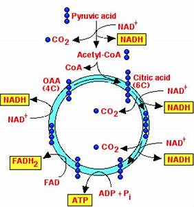 Cycle Diagram Relationship Between Atp And Adp