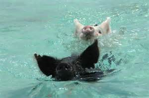 Exuma Swimming Pigs Bahamas