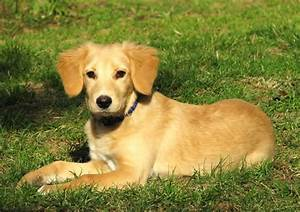 Golden Retriever Dog: Golden Retriever Lab Mix Puppies