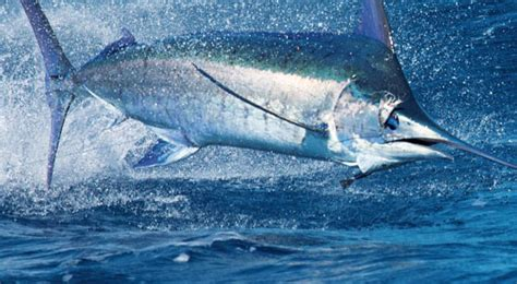 Marlin Jumps In Boat by 350lb Blue Marlin Jumps Into Boat Ebaum S World