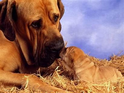 Mastiff Dogs Puppy Owner Mastiffs Don Understand