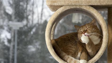 full hd wallpaper cat relax wash duct desktop backgrounds
