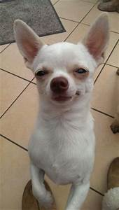 Chihuahuas, White chihuahua and Little white on Pinterest