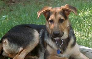 Gallery For > German Shepherd Terrier Mix Full Grown