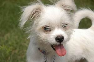 Little White Dog Free Stock Photo - Public Domain Pictures