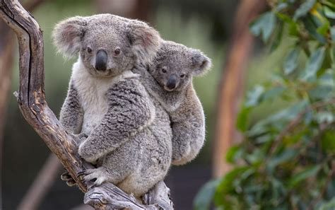 australia pledges cash   save  koala courrier