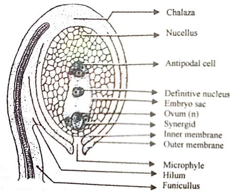 describe   labelled diagram   typical ovule qs study