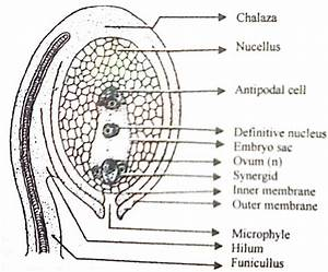 Describe With A Labelled Diagram Of A Typical Ovule