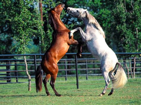 dancing andalusians horses animals horse andalusian spanish category