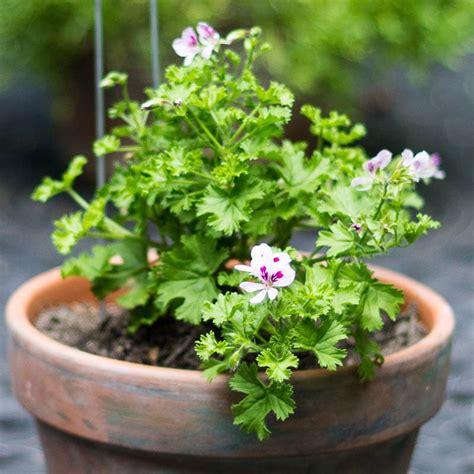 fragrant geranium scented geraniums another fragrant beauty garden matter