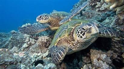 Sea Turtle Underwater Pair Wallpapers