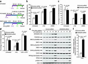 Depletion Of Donson Compromises Activation Of Cell Cycle