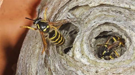 wer entfernt wespennester am haus wespennest entfernen und umsiedeln