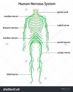 [illustration of the nervous system] nervous system ...