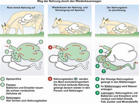 Verdauungssystem der kuh