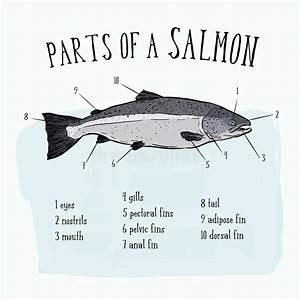 Salmon Cuts Illustration Stock Illustration  Illustration