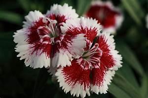 File:Red-White-Flowers ForestWander.JPG
