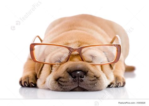 shar pei baby dog picture