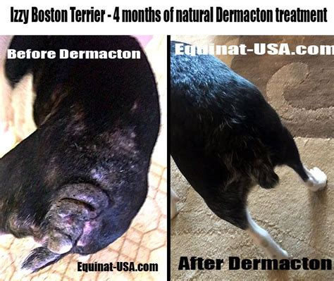 Best Boston Terrier Skin Allergies Natural Treatment