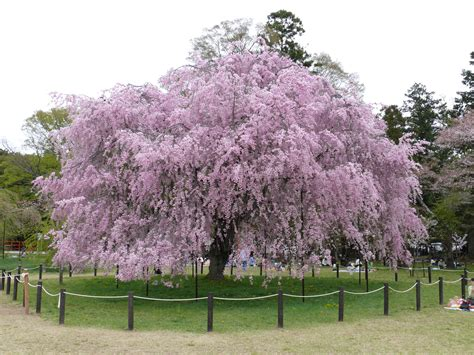 facts about cherry blossom trees cherry trees all amazing facts