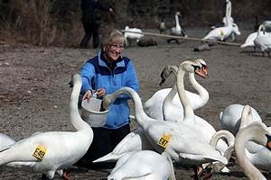Trumpeter swans making a comeback in Ontario | The Star
