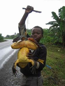 3 Goliath Frog This giant frog can reach up to 3 feet when ...