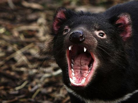 Tasmanian devils can live up to 7 years under ideal conditions, but their average life expectancy is closer to 5 years. Tasmanian Devil