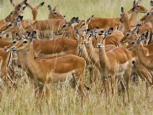 Afrikan Antilope : beautiful dangerous wild animals pets of africa beautiful ~ A.2002-acura-tl-radio.info Haus und Dekorationen