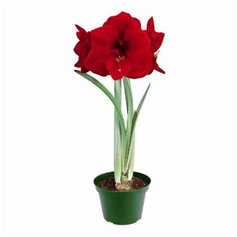 amaryllis kit dormant bulb 1 pack 70190 the