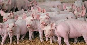 New Sid Database Includes Weaner Pigs