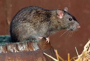 Comment Tuer Un Rat : tuer souris appartement comment tuer un mulot dans une ~ Mglfilm.com Idées de Décoration