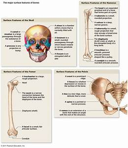 17 Best Images About Bones And Bone Markings  The Axial