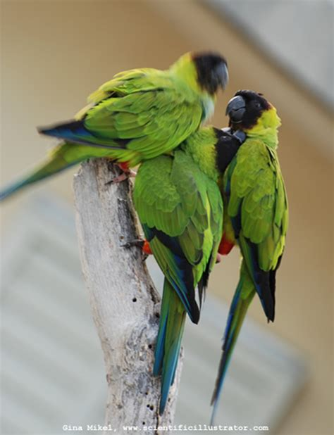 nanday conures photographs of by gina mikel