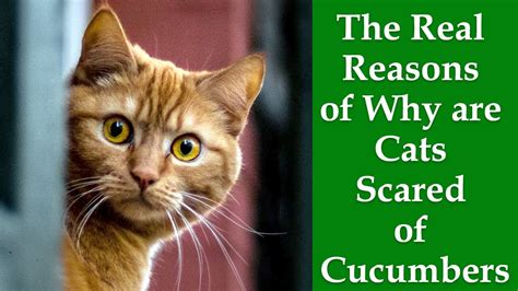 cucumbers cats why afraid