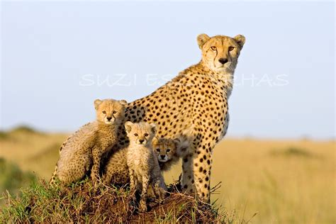 Cheetah Print Baby Room Decor 40 off sale cheetah mom and cubs 8 x 12 print baby