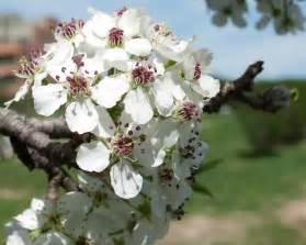 White Flowering Tree Identification