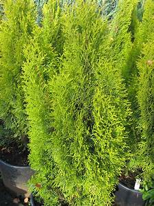 Thuja Smaragd Düngen : thuja golden smaragd thuja occidentalis golden smaragd ~ Michelbontemps.com Haus und Dekorationen