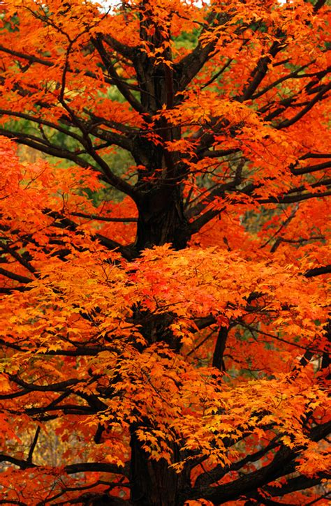 trees with fall foliage tree orange leaves autumn beauty nature