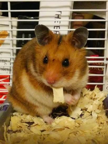 Hamster Fat Derp Bagel Named Comment
