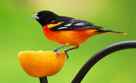 picture of a oriole bird may 2013 the berne bird